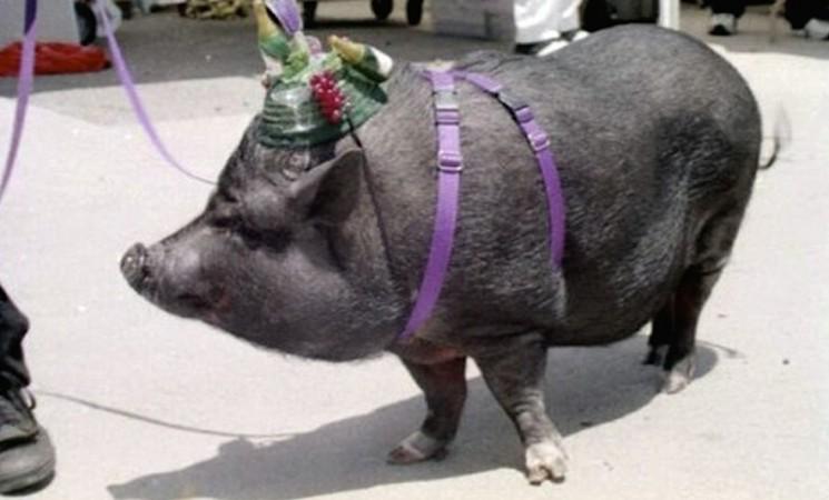 Vijetnamske svinje stižu