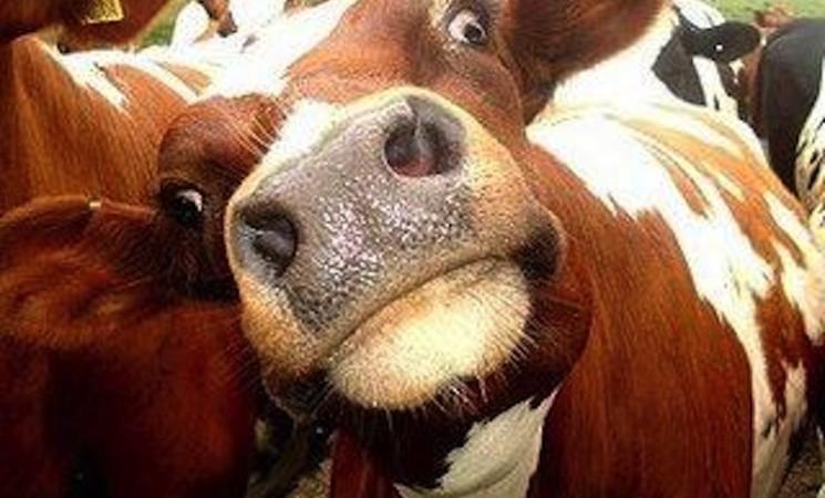 Srećno svima koji slave svete krave
