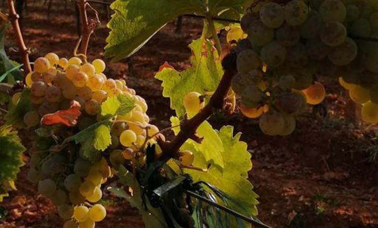 Žilavka - kraljica hercegovačkih vinogorja
