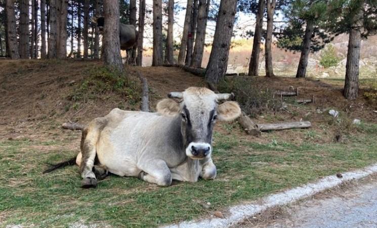 Svete debele krave